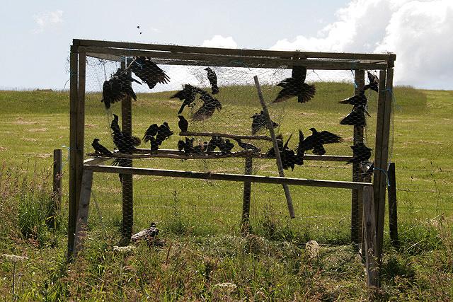 Yep, that's a crow trap.